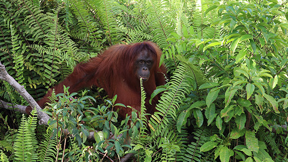Orangutan in the jungle